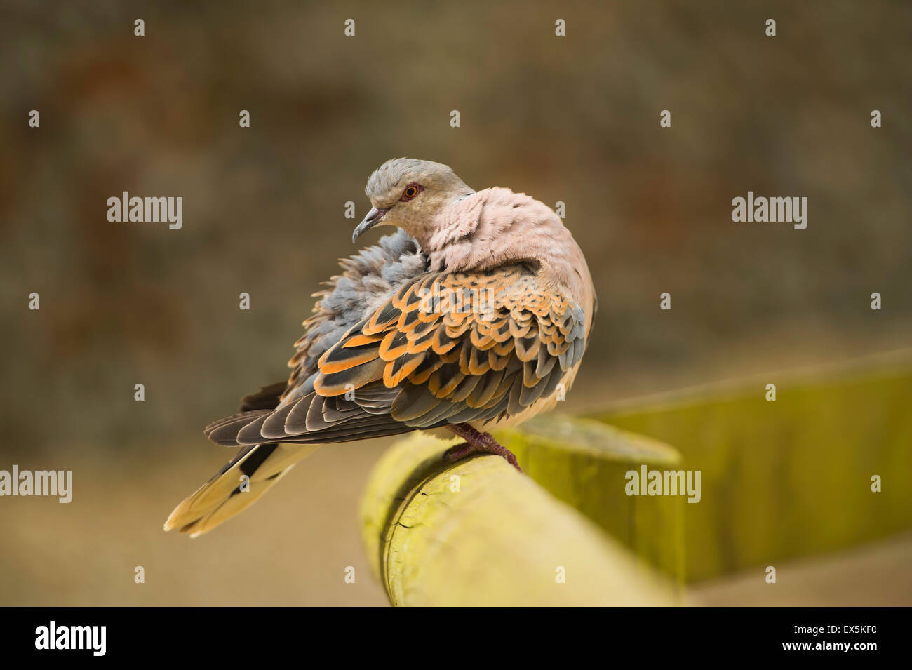 Captive Turtle Dove. - Stock Image