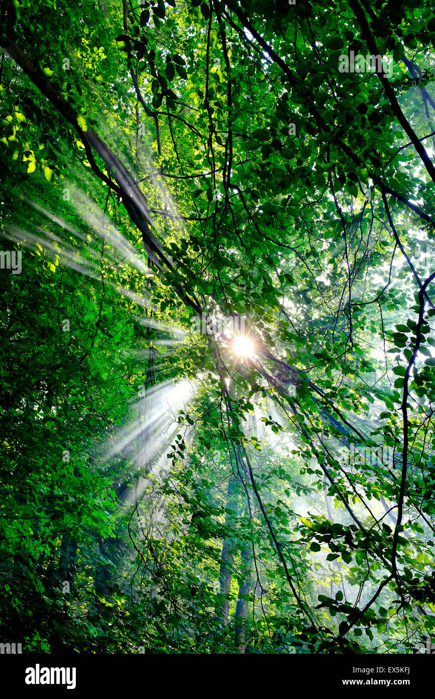 Sunrays through the forest - Stock Image