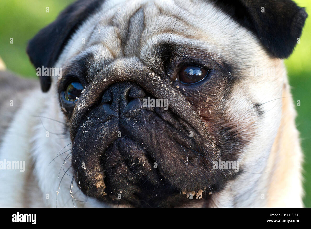 Pug dog harnessed whilst walking, Southport, Merseyside, UK - Stock Image
