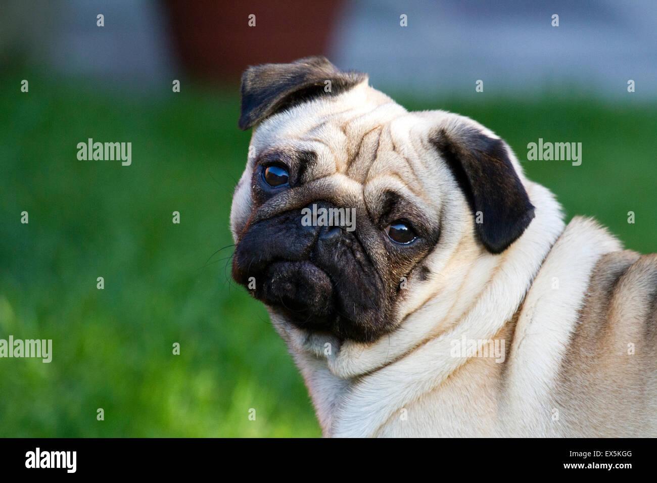 Pug dog harnessed whilst walking, Southport, Merseyside, UK - Stock Image