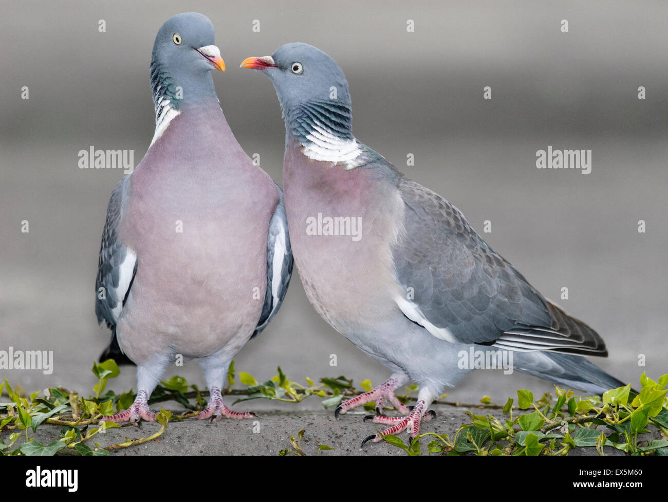 Common Wood Pigeons Courting - Stock Image
