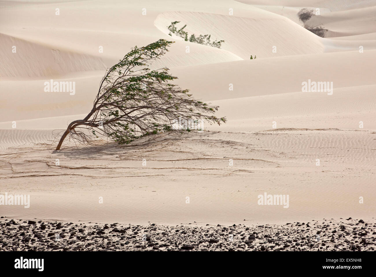 Shrubs growing in white sand dunes on the island Boa Vista, Cape Verde / Cabo Verde, Western Africa - Stock Image