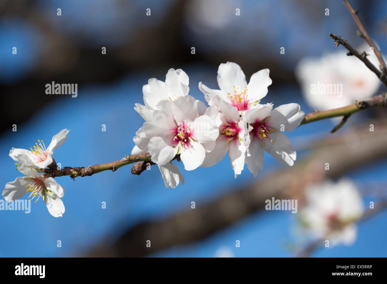 Almond blossom, Prunus dulcis. - Stock Image