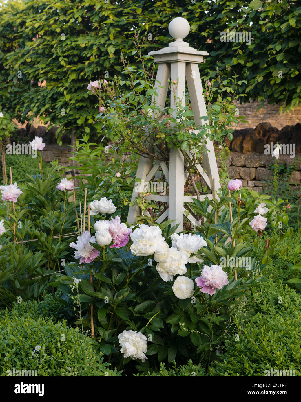 Peonies (Paeonia) and box hedge in country garden - Stock Image