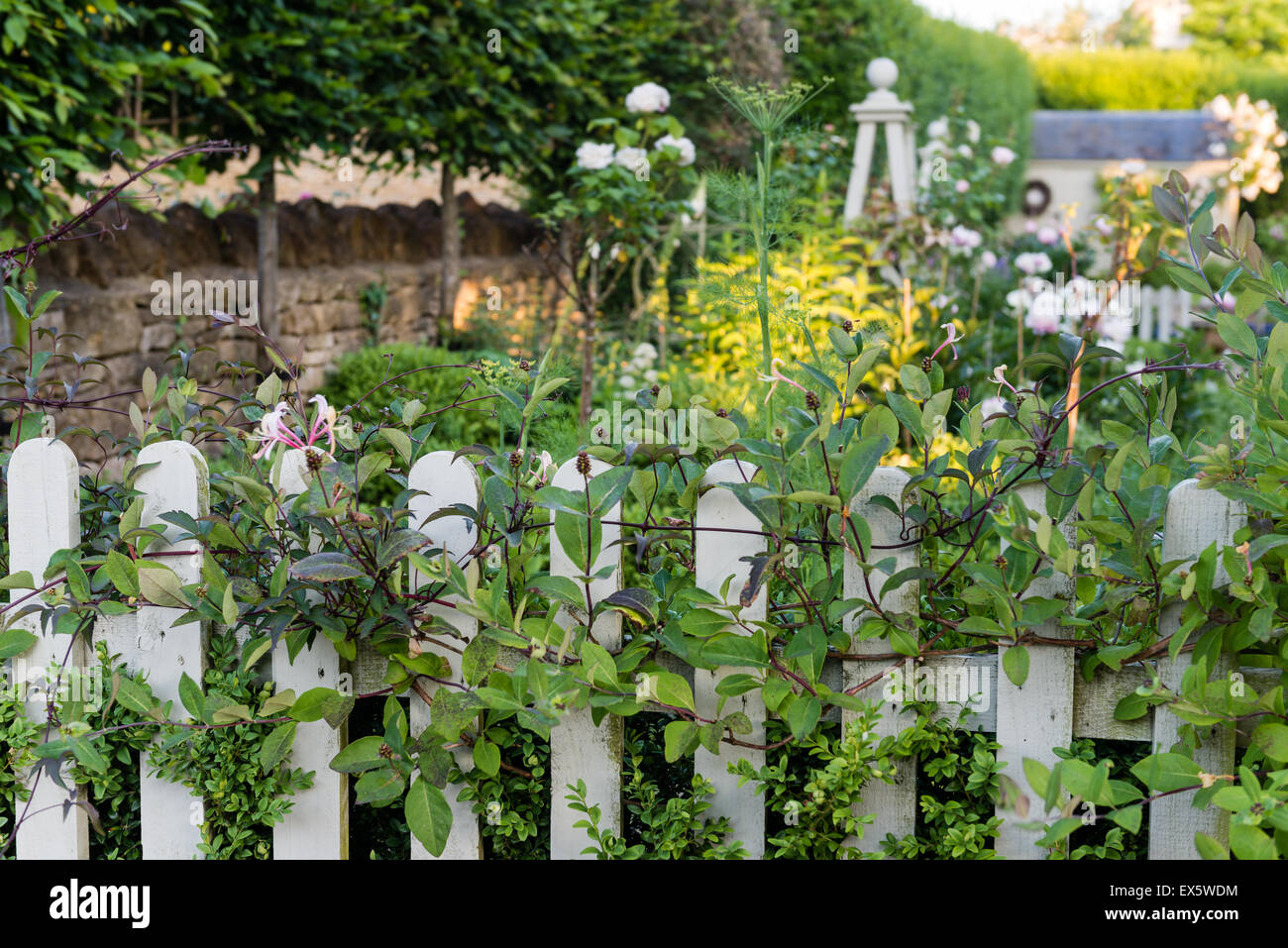Honeysuckle (Lonicera) growing along a white picket fence - Stock Image
