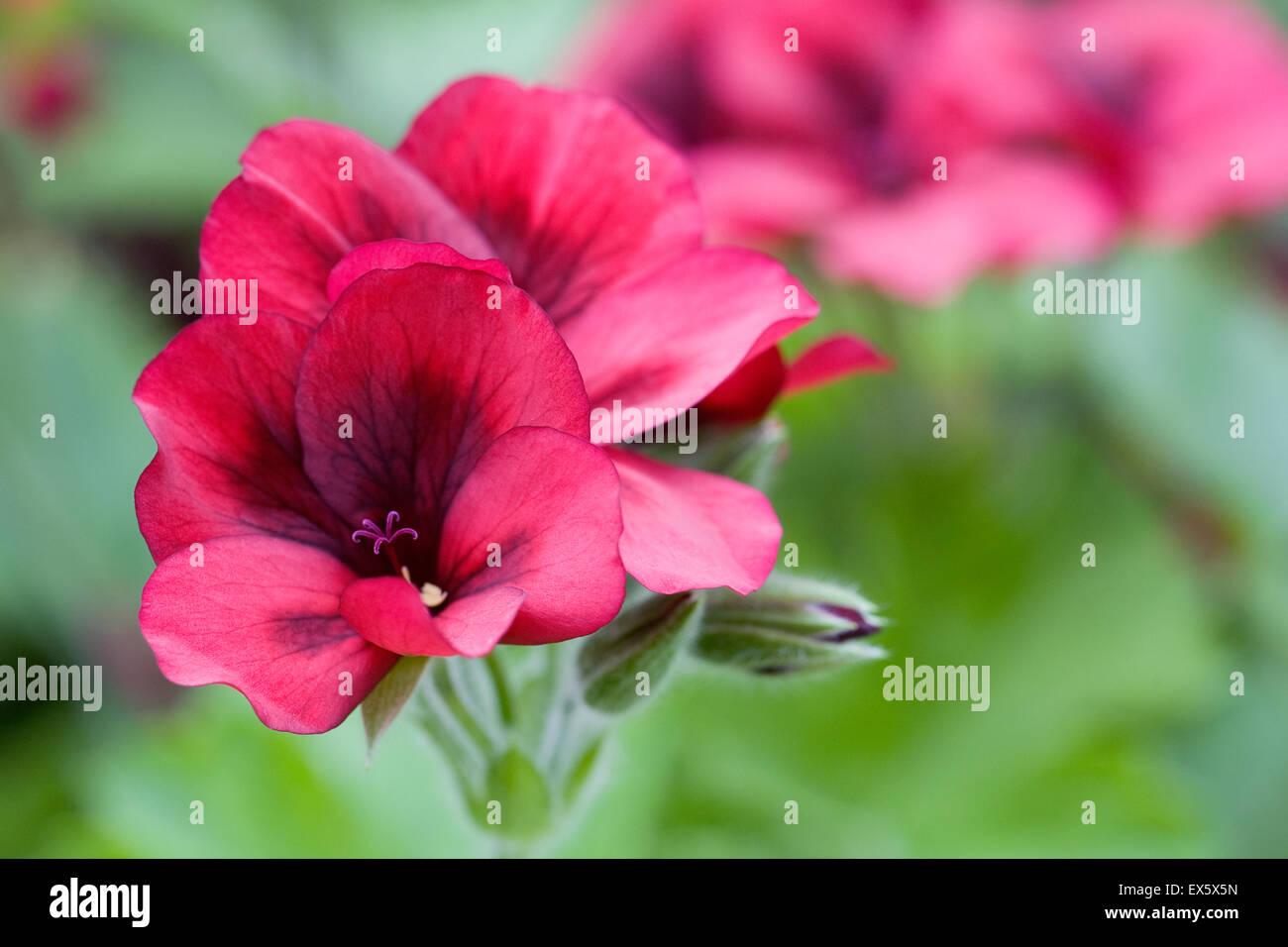 Pelargonium 'Mystery' flower. - Stock Image