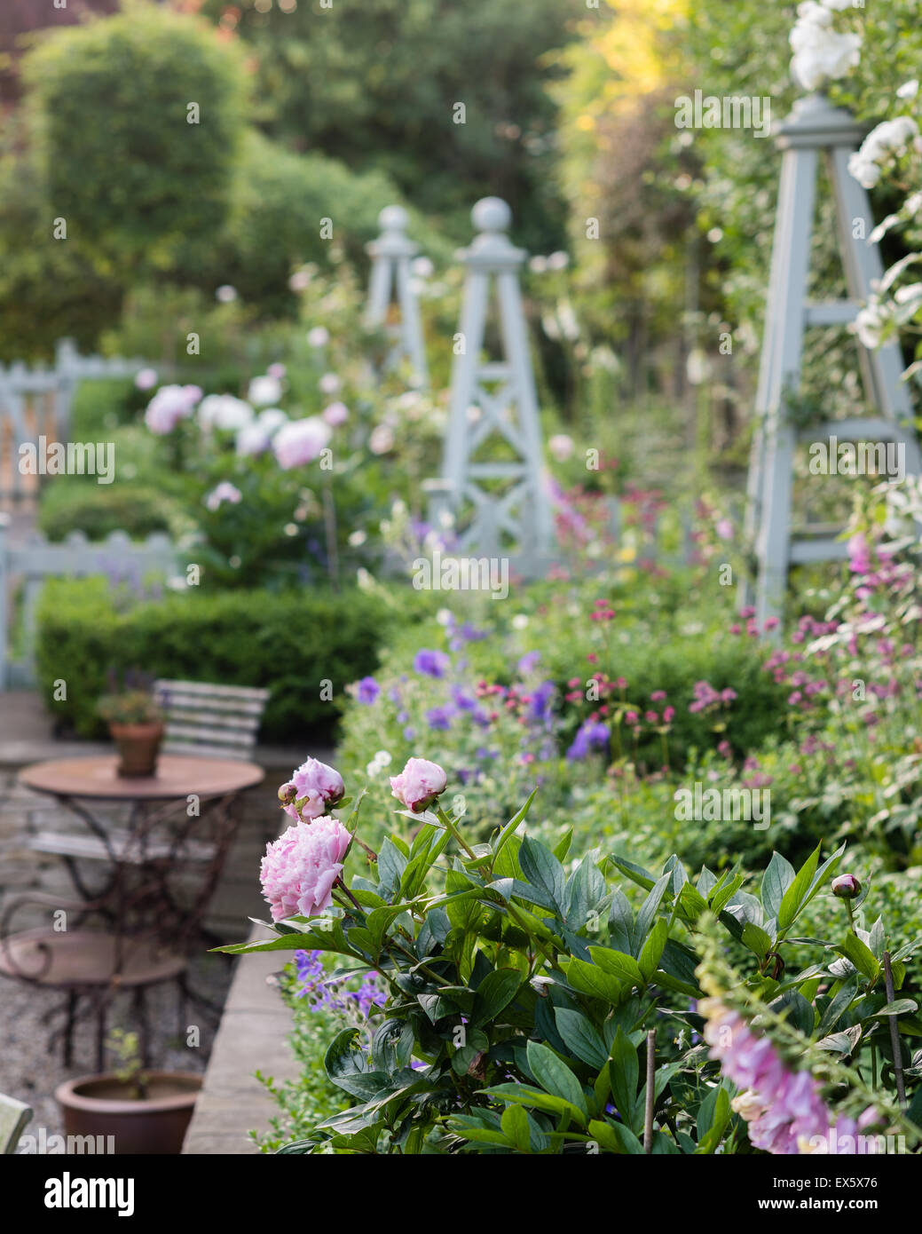 Peonies in country garden with plant stands - Stock Image