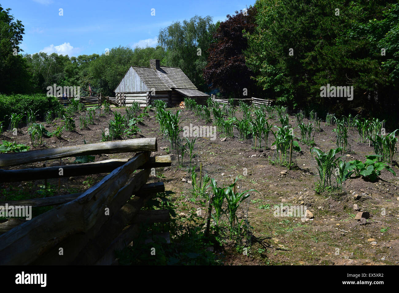 Vegetable crop growing in dry soil, behind a log cabin, at the Ulster American Folk Park. - Stock Image