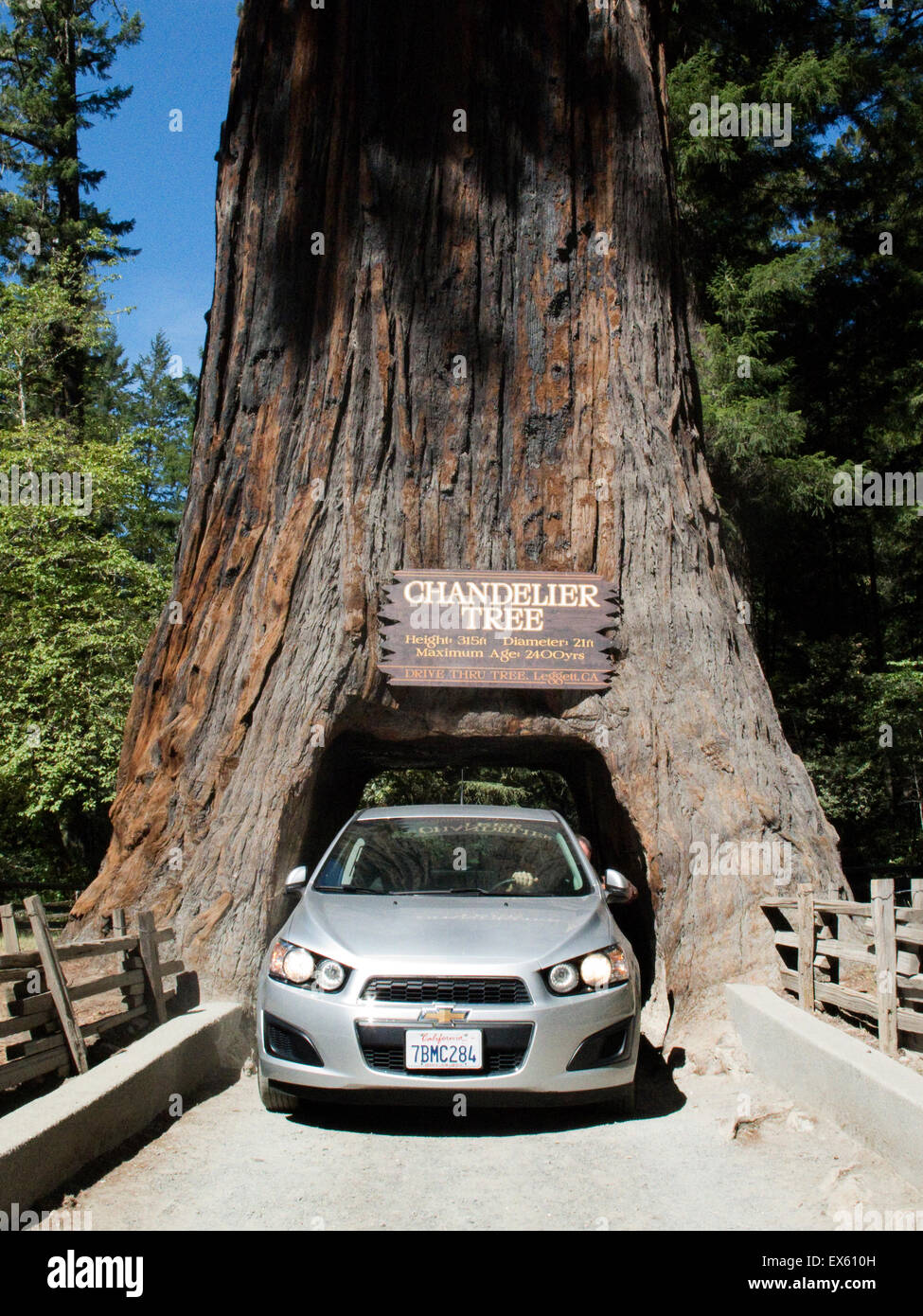 Chandelier Tree In Drive Thru Park A Coast Redwood With Hole Large Enough To Through