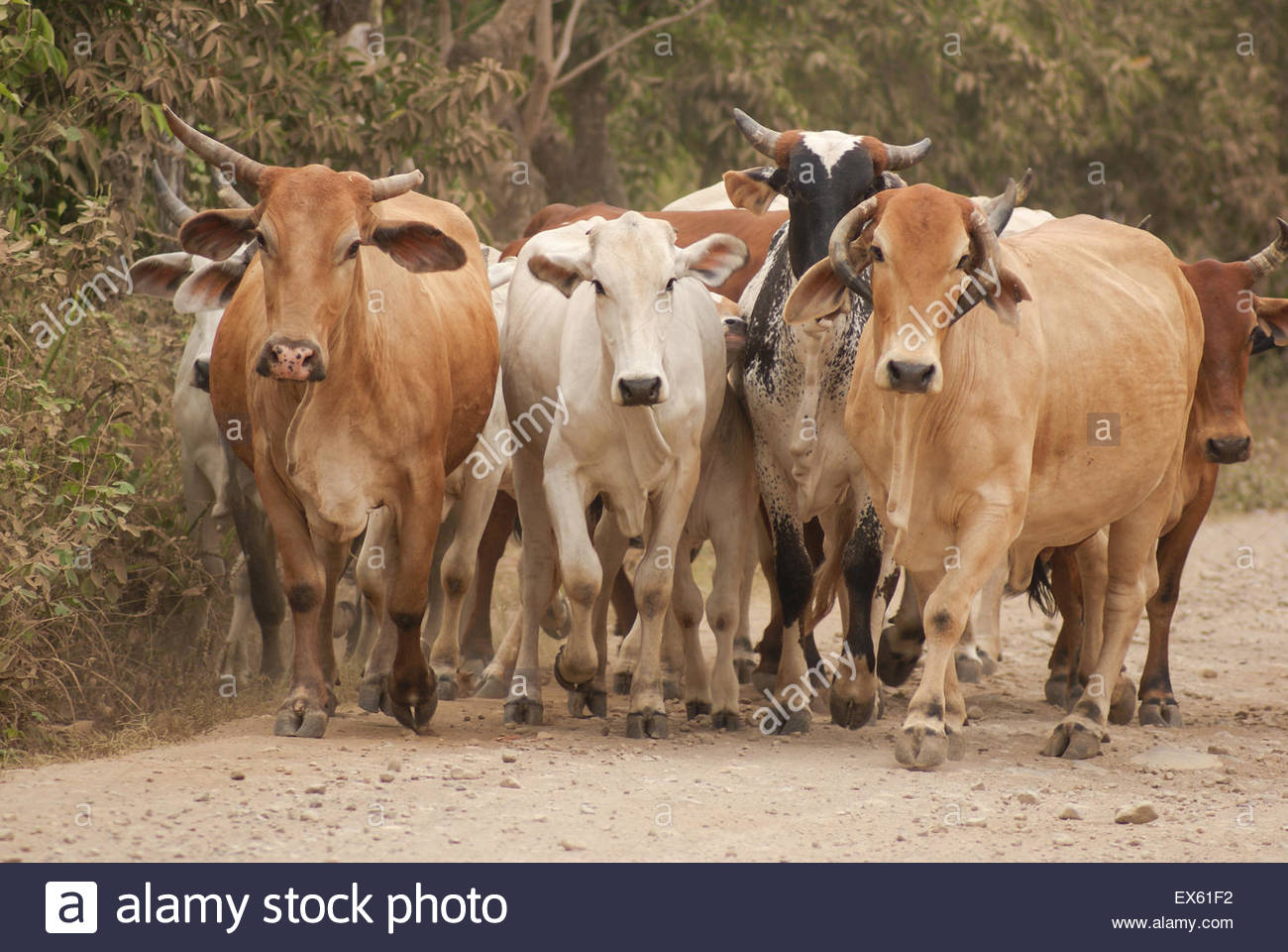 Cow Gridlock - A herd of cows walking along a dusty road in rural Mexico - Stock Image