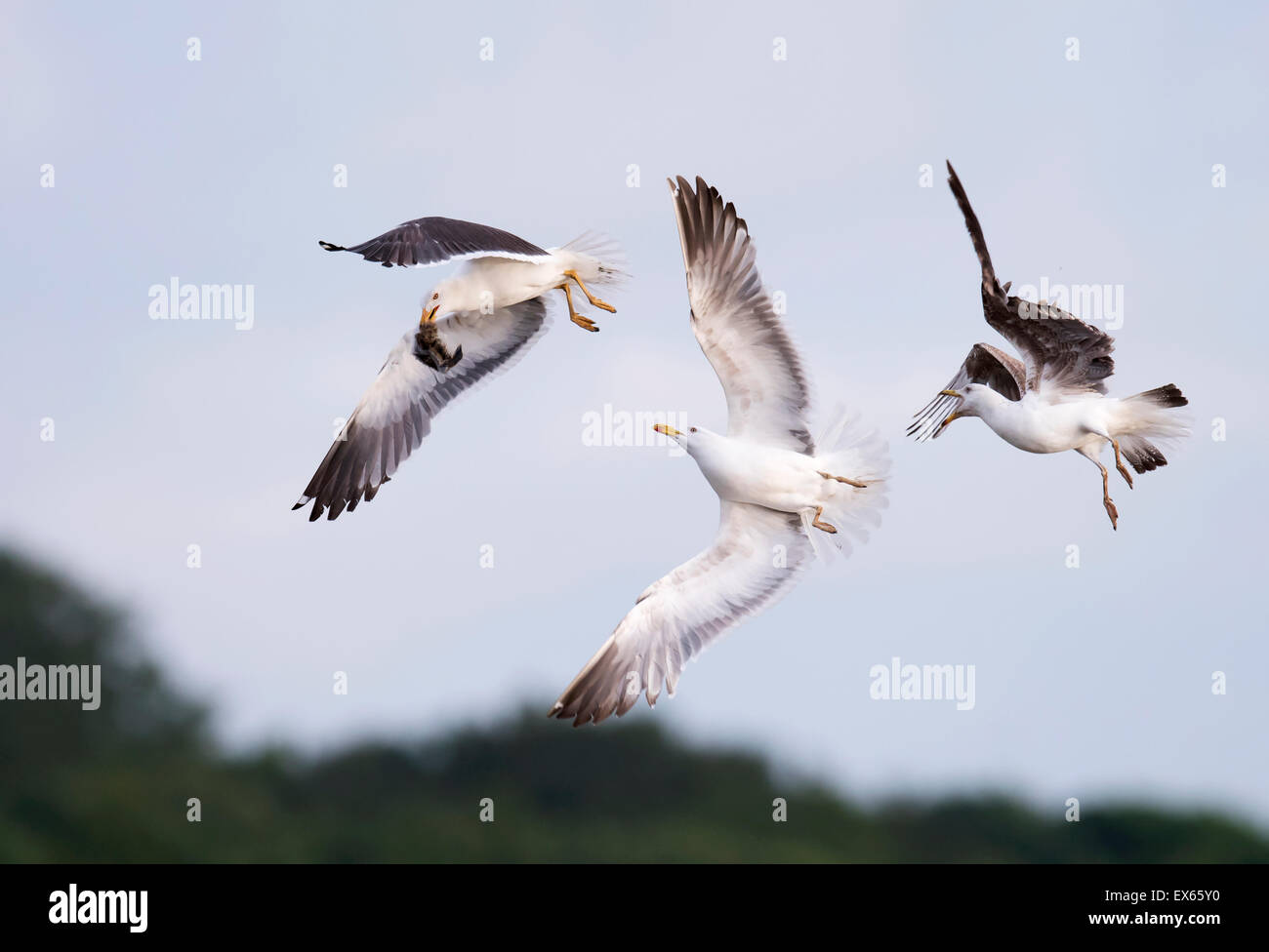 Lesser Blacked backed gull (Larus fuscus) pursued by it's youngsters after grabbing a hapless chick - Stock Image