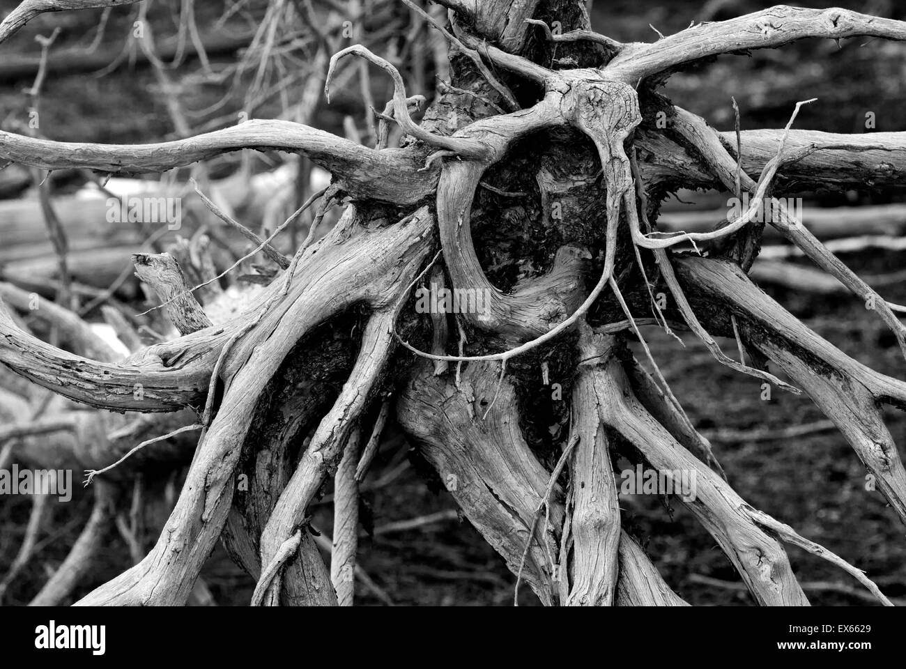 Lodgepole pine root wad in Yellowstone National Park, WY - Stock Image