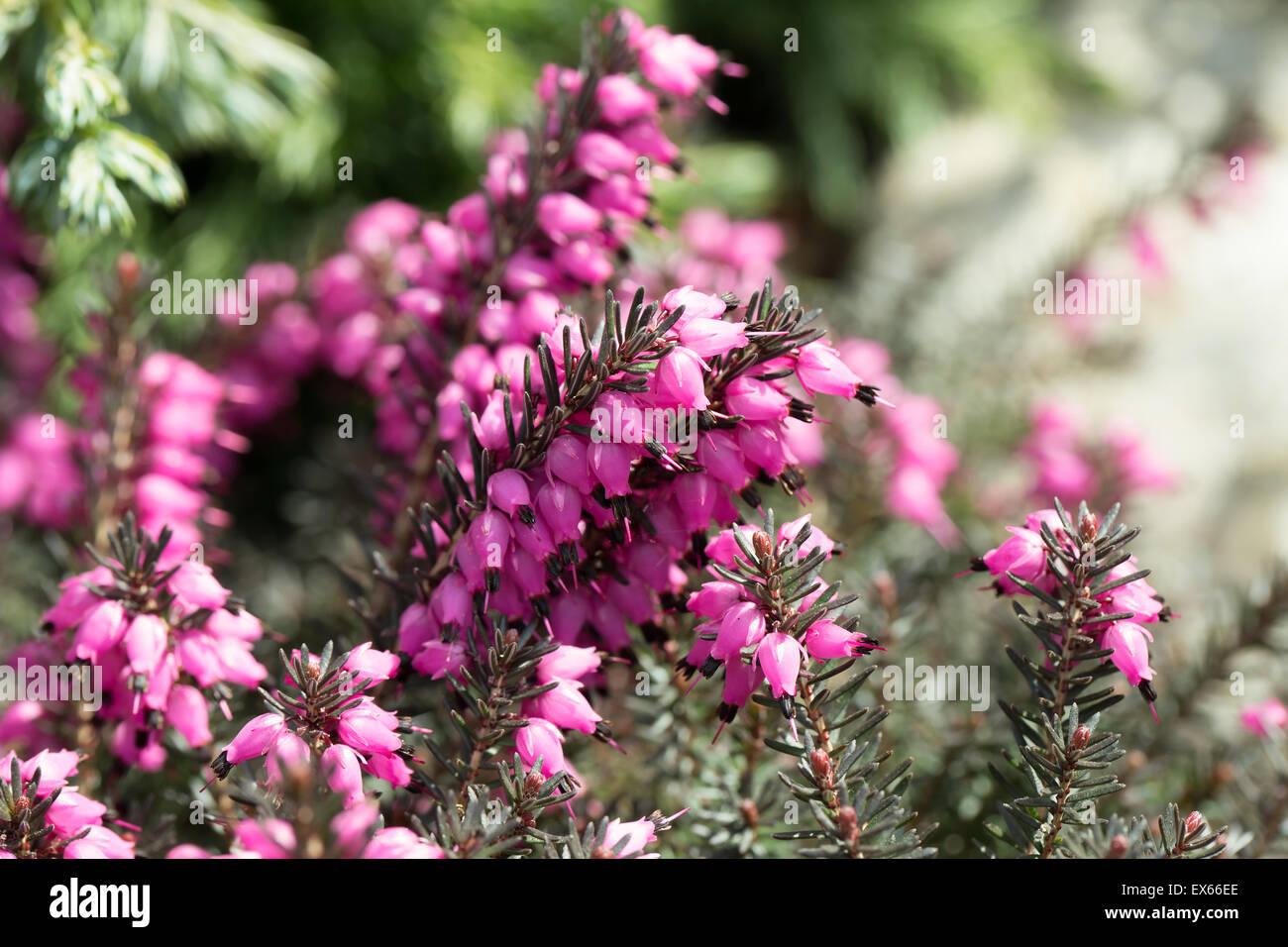 Beautiful flowers Myretoun Ruby. Erica carnea, macro photo - Stock Image