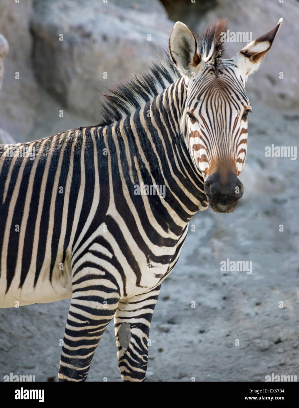 Close up of  Zebra Stock Photo