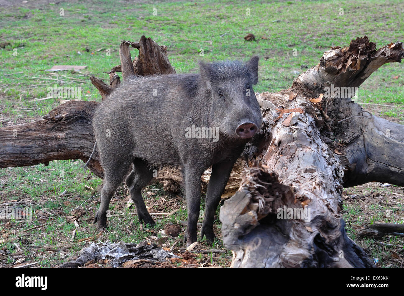 Indian Wild Boar - Stock Image
