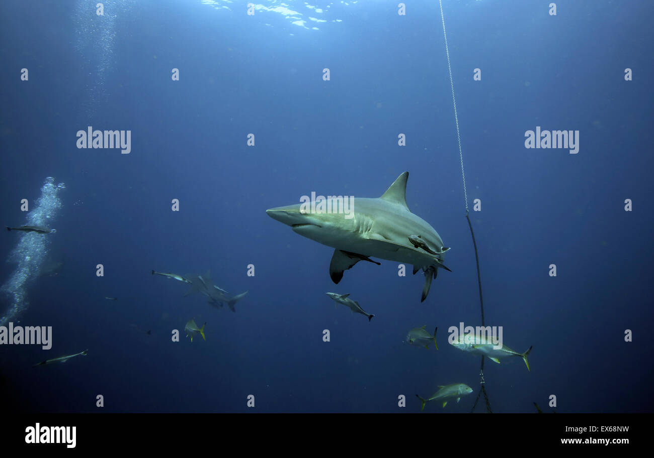 Oceanic blacktip shark and other fish underwater on baited scuba dive at Aliwal Shoal, Durban - Stock Image
