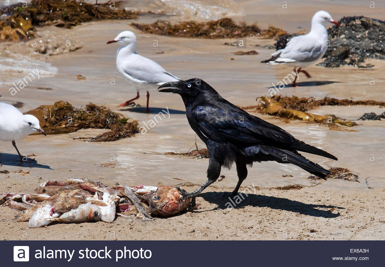 Australian raven With gains on the seafront - Stock Image