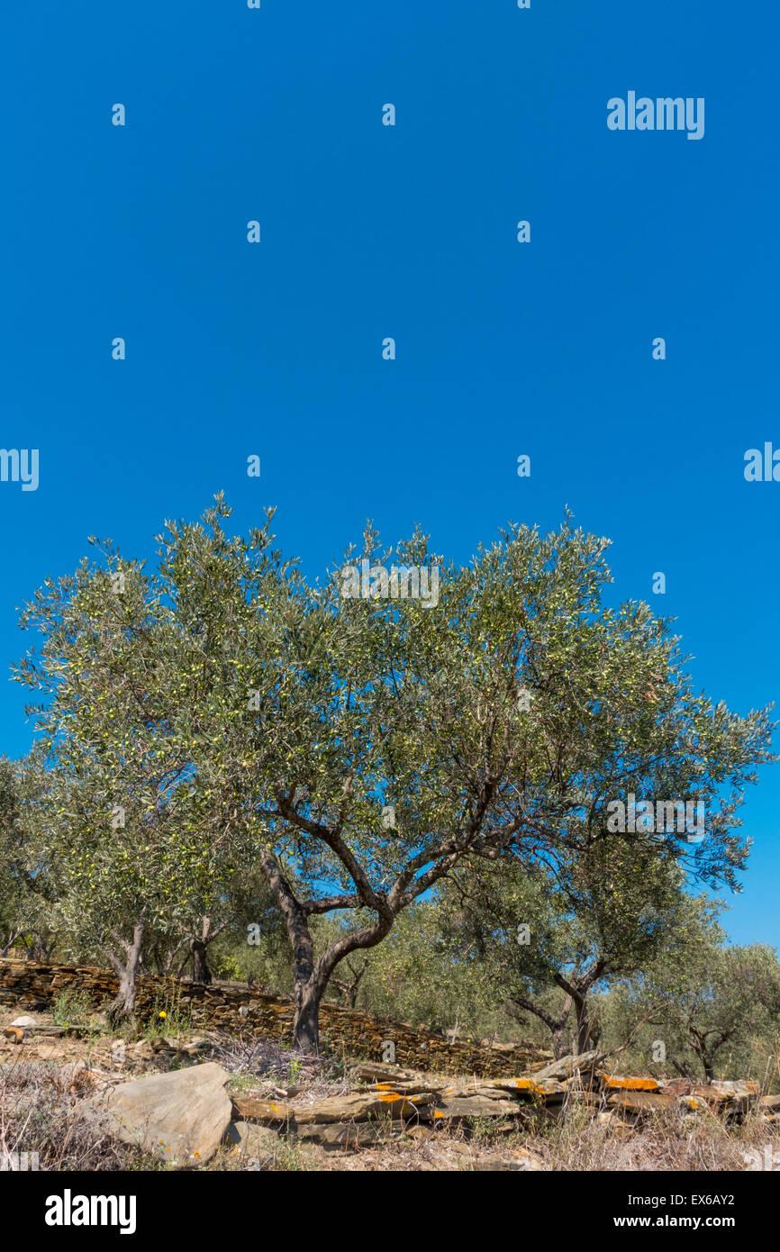 Olivenbaum, Costa Brava, Katalonien, Spanien - Stock Image