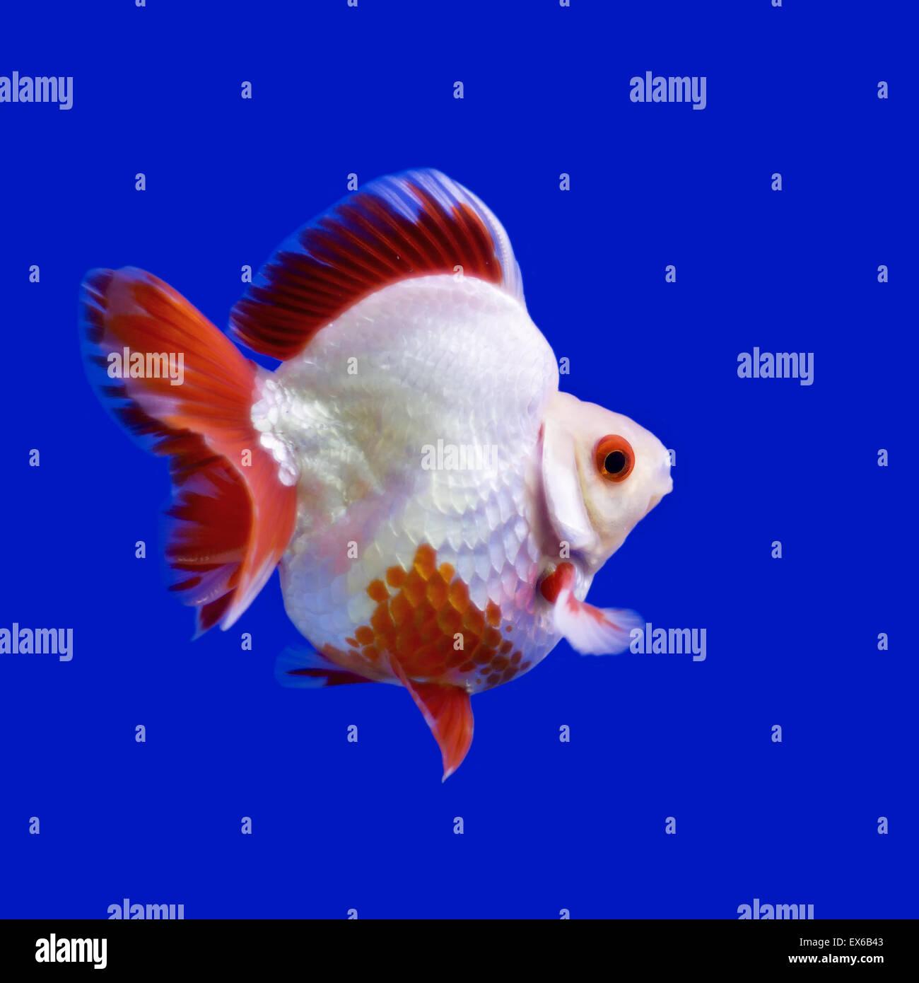 Beautiful Goldfish In The Aquarium Stock Photo Alamy