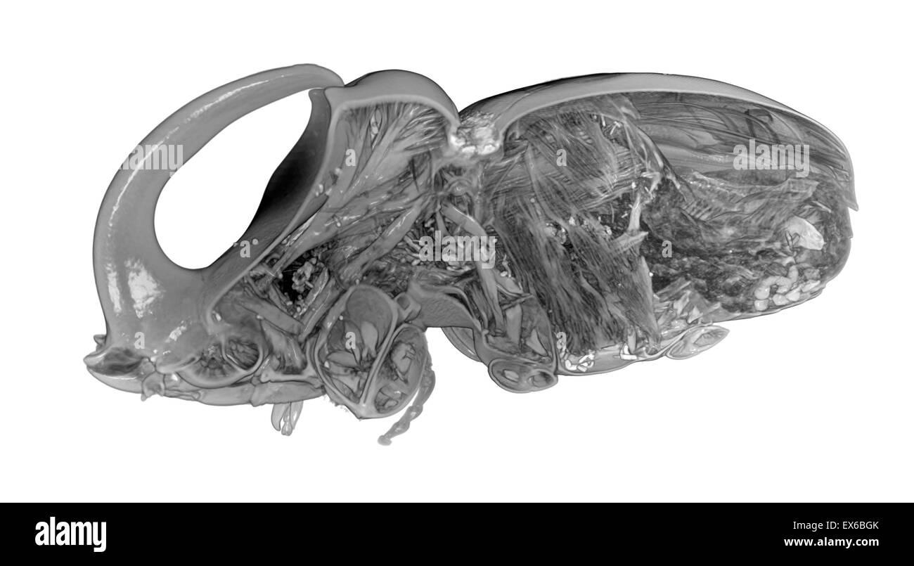 Oryctes boas, Rhinoceros beetle, Micro-CT scan - Stock Image