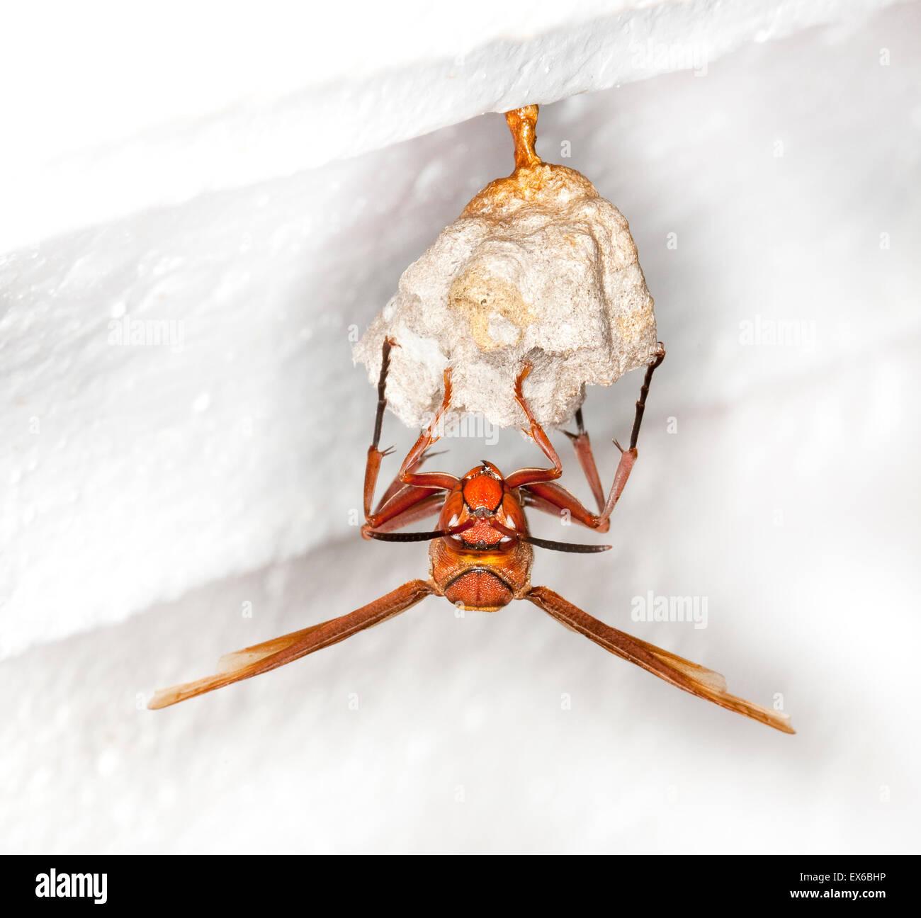 Hornet preparing paper nest, Vietnam - Stock Image