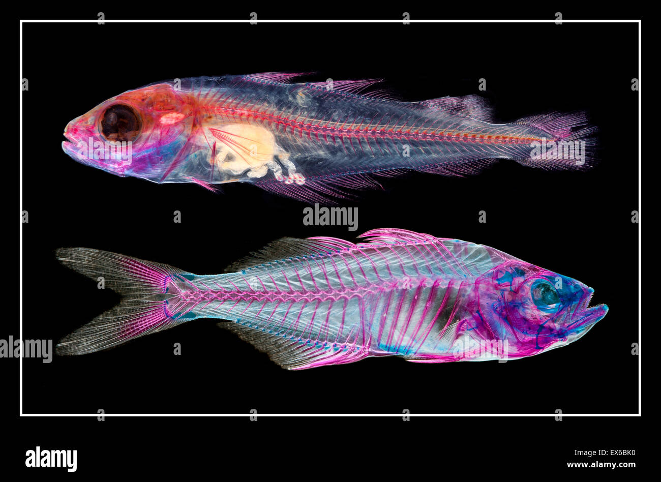 Upper: Pollachius pollachius, Juvenile pollack and lower: Chanda nama, Indian glass perch - Stock Image