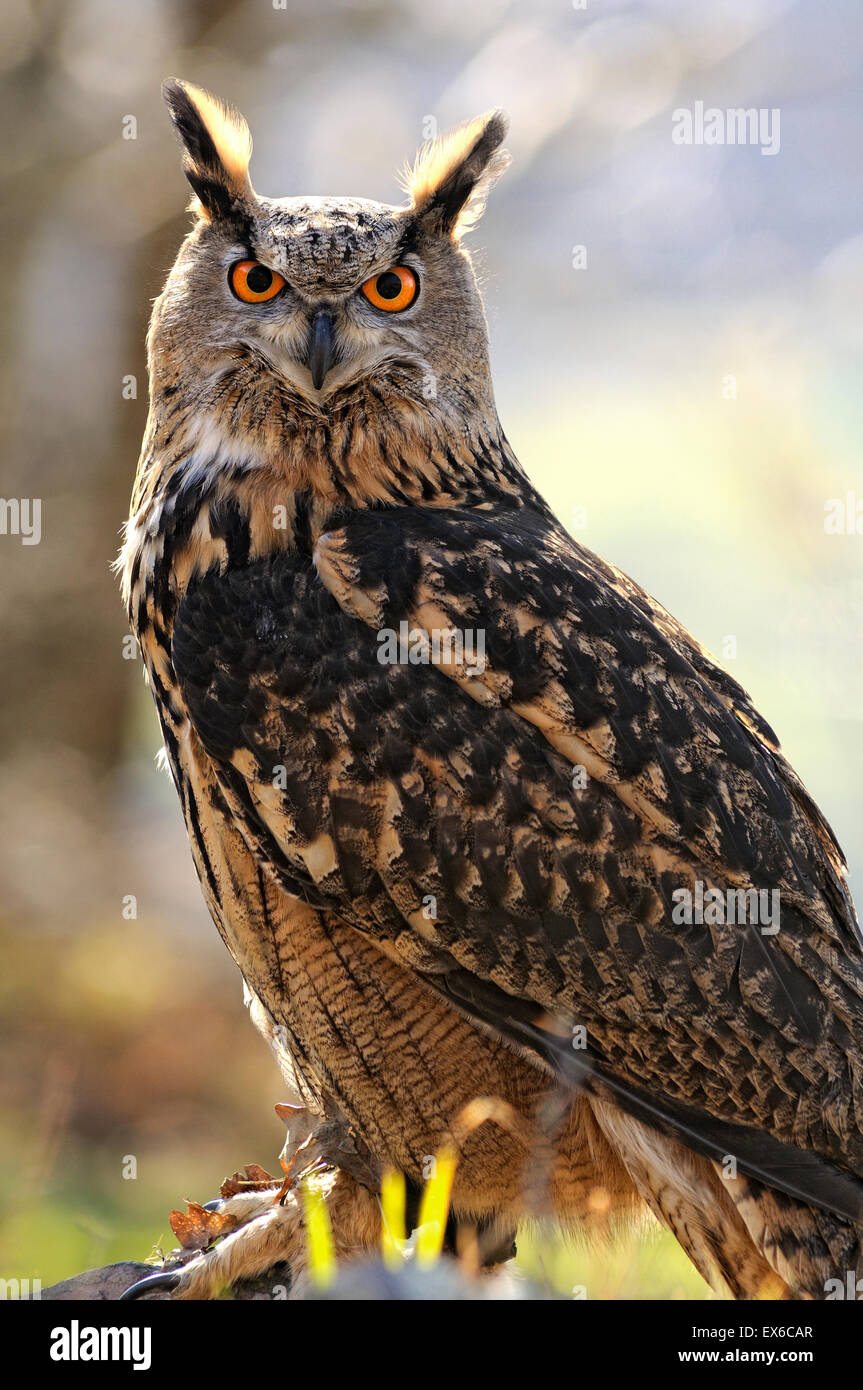 Vertical portrait of Eurasian Eagle-Owl, Bubo bubo. - Stock Image