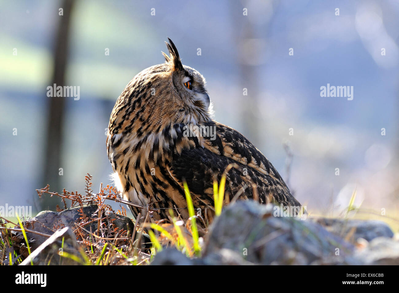 Horizontal portrait of Eurasian Eagle-Owl, Bubo bubo. - Stock Image