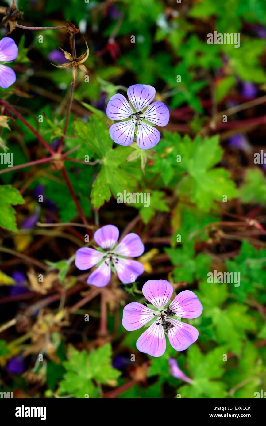 geranium sweet heidy blue white bicolor bicolour geraniums flowers flowering perennial RM Floral Stock Photo