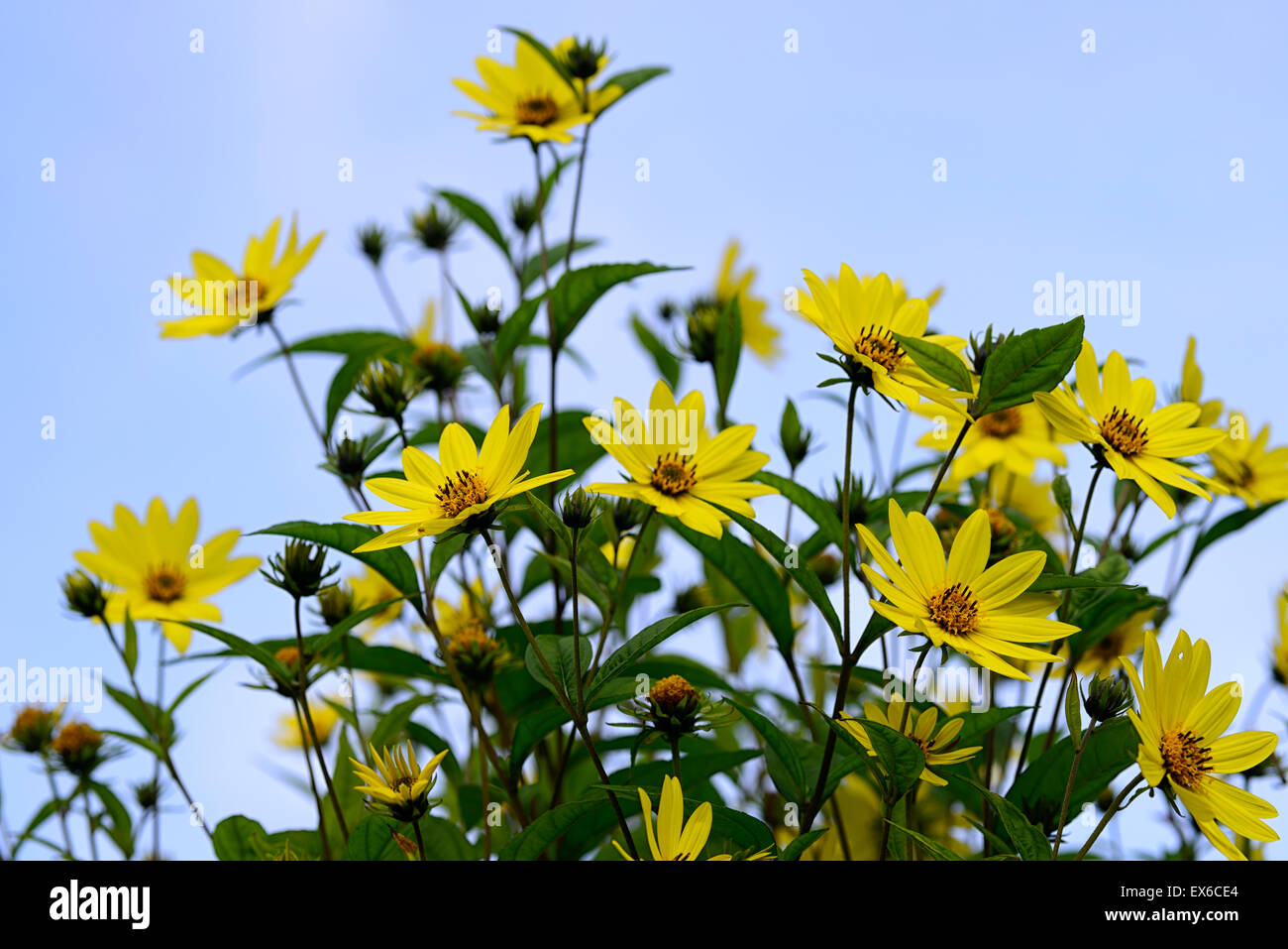 Helianthus lemon queen yellow flowers flower autumn flowering stock helianthus lemon queen yellow flowers flower autumn flowering sunflower tall herbaceous perennial mightylinksfo