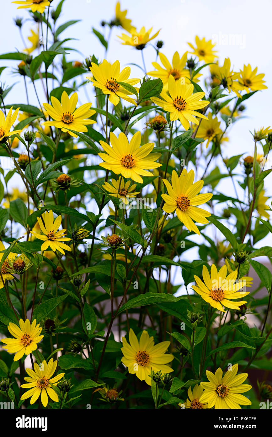 Helianthus Lemon Queen Yellow Flowers Flower Autumn Flowering Stock