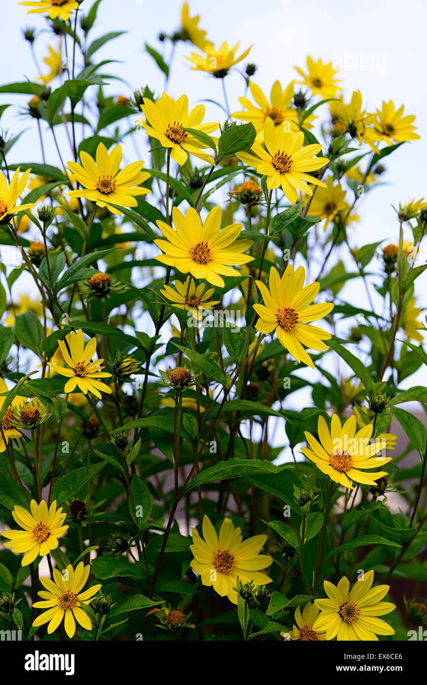 Helianthus Lemon Queen Stock Photos Helianthus Lemon Queen Stock