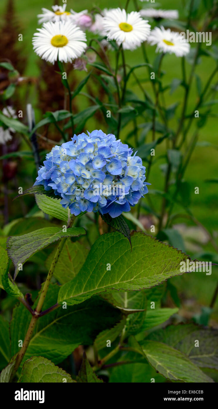 Hydrangea macrophylla bailmer blue flowers inflorescence erigeron hydrangea macrophylla bailmer blue flowers inflorescence erigeron snow white perennial flowering autumn fall rm floral izmirmasajfo