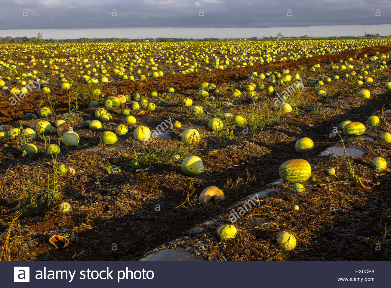 A field containing watermelons left in the field to rot because they are not wanted for sale. - Stock Image