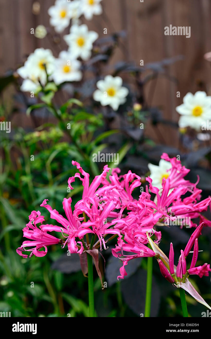 nerine bowdenii pink flowers Dahlia twynings after 8 eight white flowers autumn color colour RM Floral - Stock Image