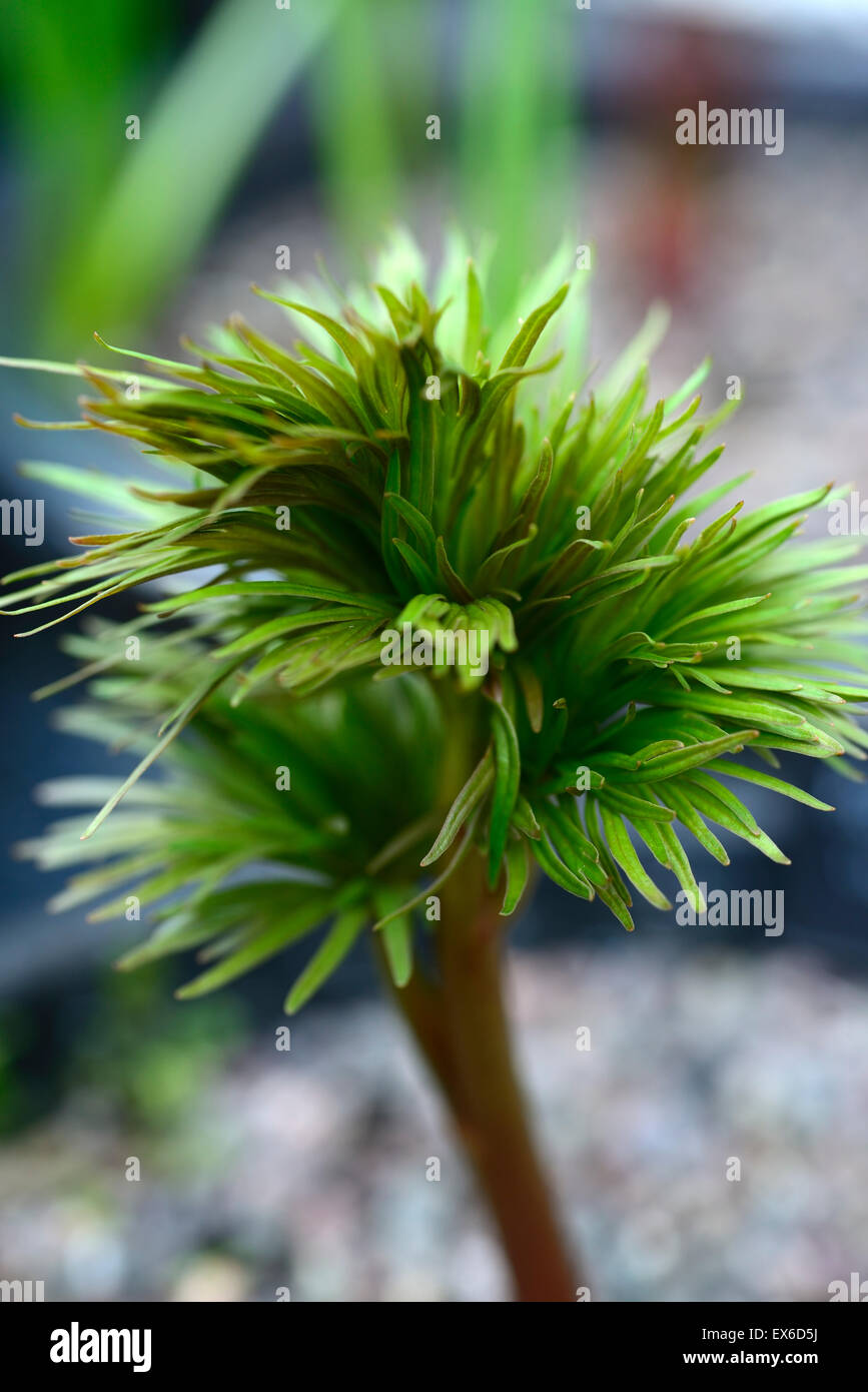 paeonia anomala foliage leaves finely serrated cut atypical peonies peonys RM Floral - Stock Image