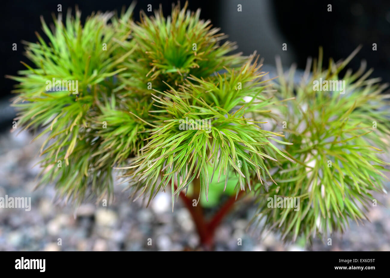 paeonia tenuifolia foliage leaves finely serrated cut atypical peonies peonys RM Floral - Stock Image