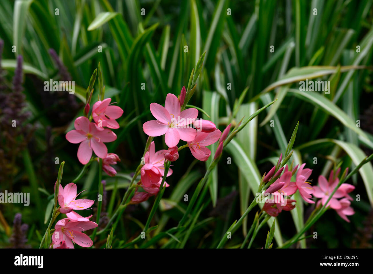 Hesperantha Schizostylis Coccinea Sunrise Pink Flower Flowers Stock