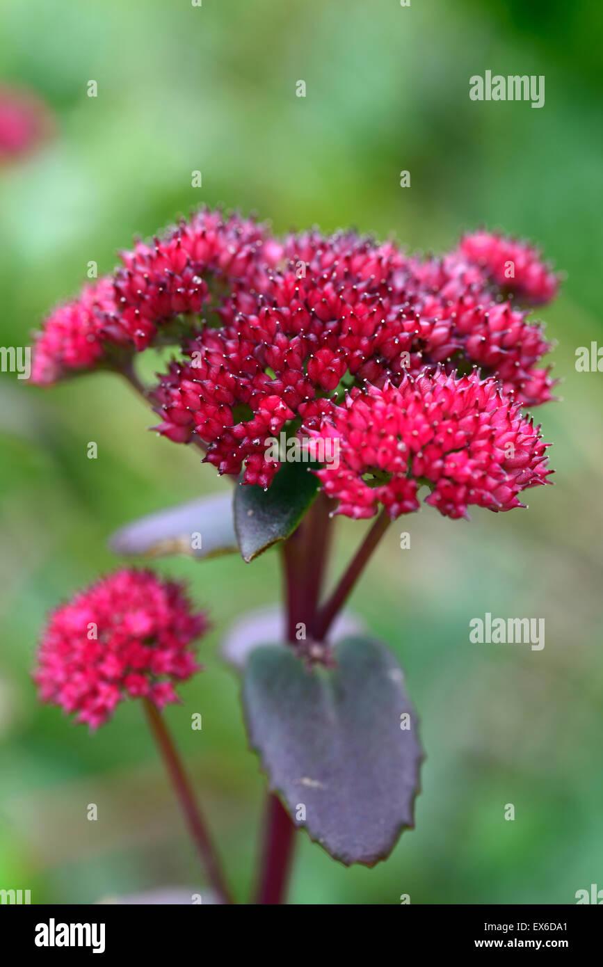 sedum telephium red cauli Showy Stonecrop succulent cluster flowers flowering perennial bee friendly RM Floral - Stock Image