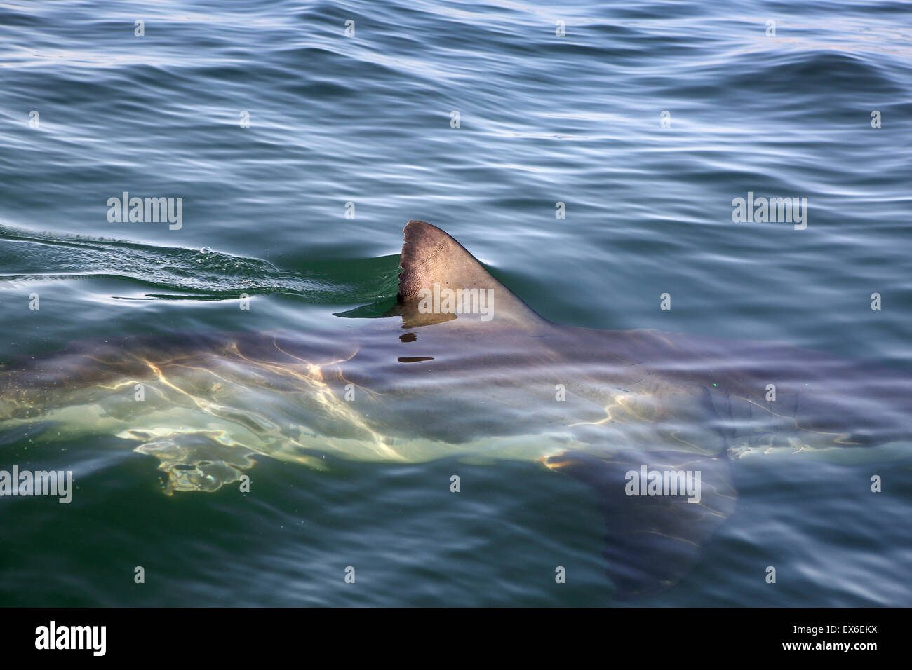 Great white shark (Carcharodon carcharias) dorsal fin - Stock Image
