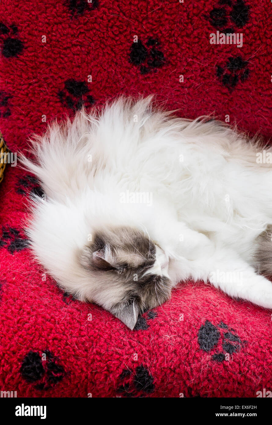 Ragdoll cat in a luxury red bed asleep - Stock Image