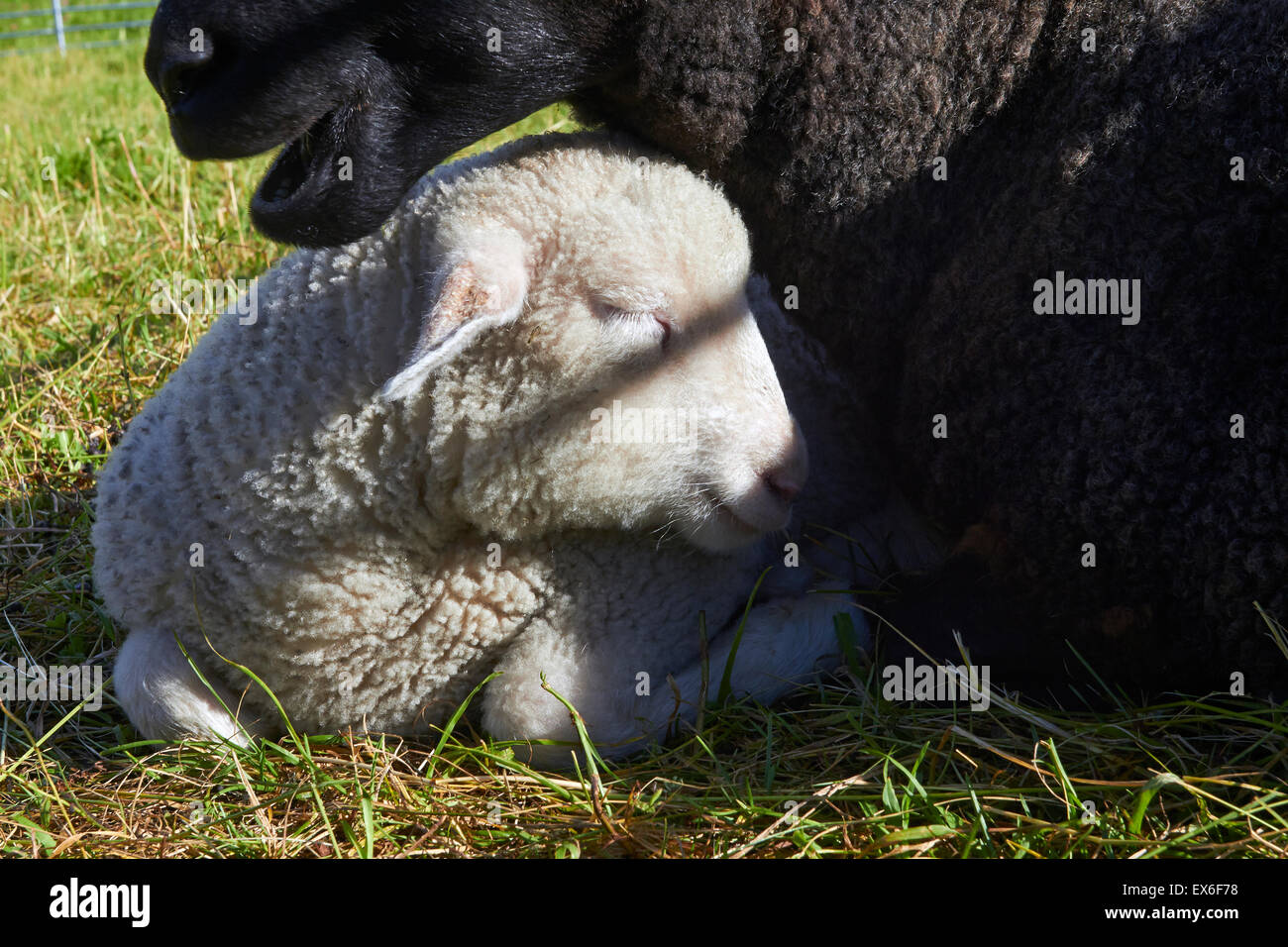 white lamb resting by its ewe - Stock Image