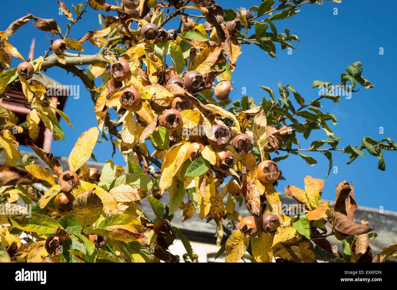 Fruit growing on a Medlar tree in UK - Stock Image