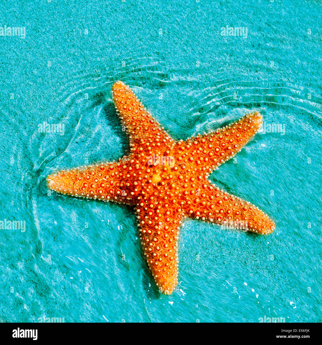 closeup of a seastar in a tropical beach - Stock Image