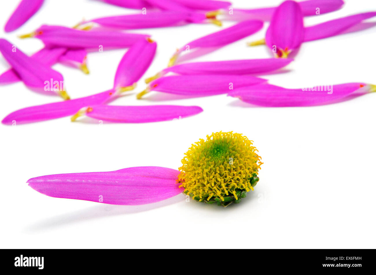 pink daisy without petals after a he loves me... he loves me not - Stock Image