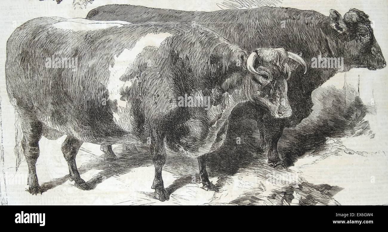 Engraving of the prize animals of the Smithfield Club Cattle Show. Dated 1860 - Stock Image