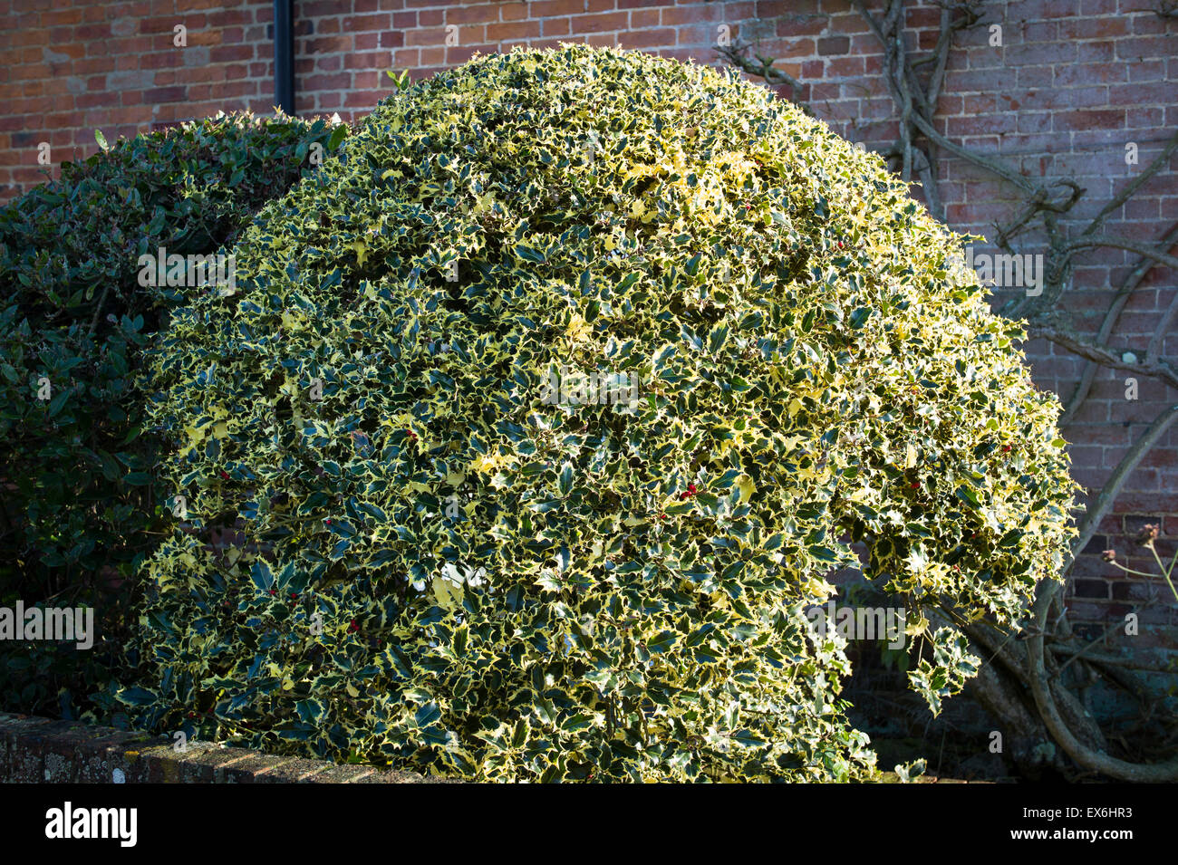 VARIEGATED ILEX clipped in shape of a sphere in a small front garden - Stock Image