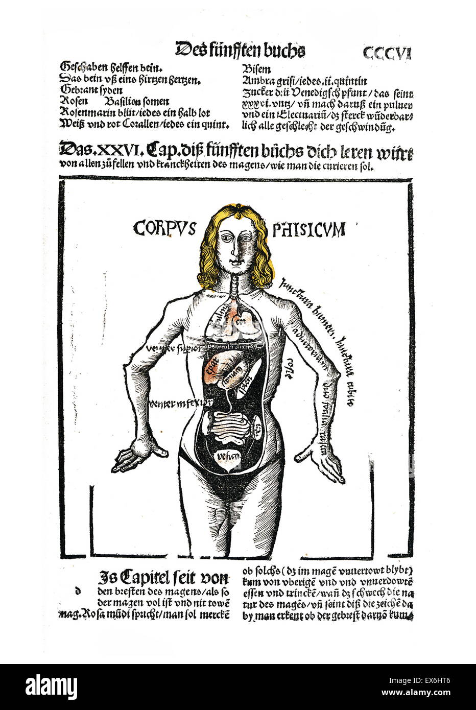 Anatomical woodcut from 'Liber de arte distillandi de compositis' by Hieronymus Brunschwig, 1450- 1512. - Stock Image