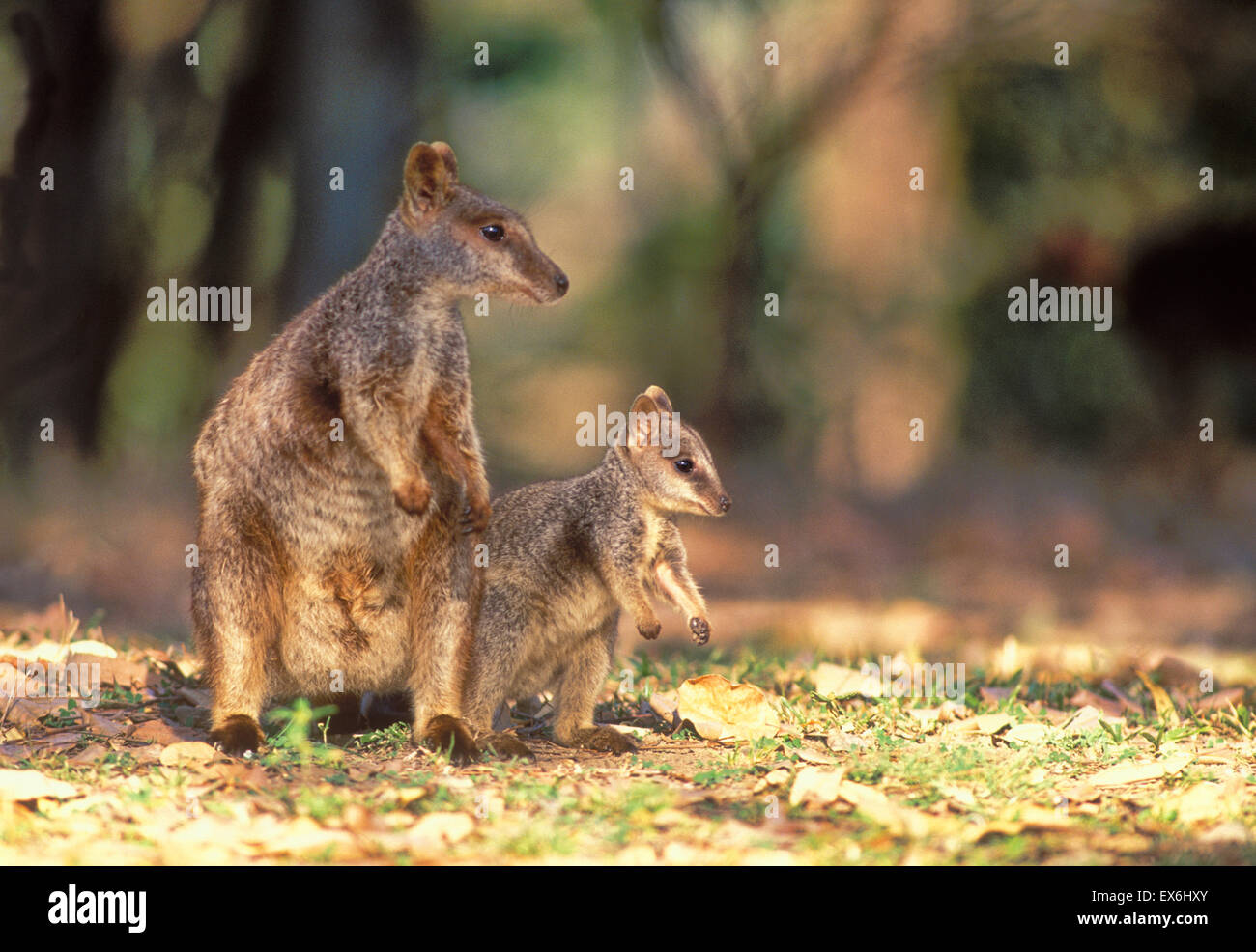 Allied Rock-Wallaby Petrogale assimilis Female and joey Photographed in Queensland, Australia Stock Photo