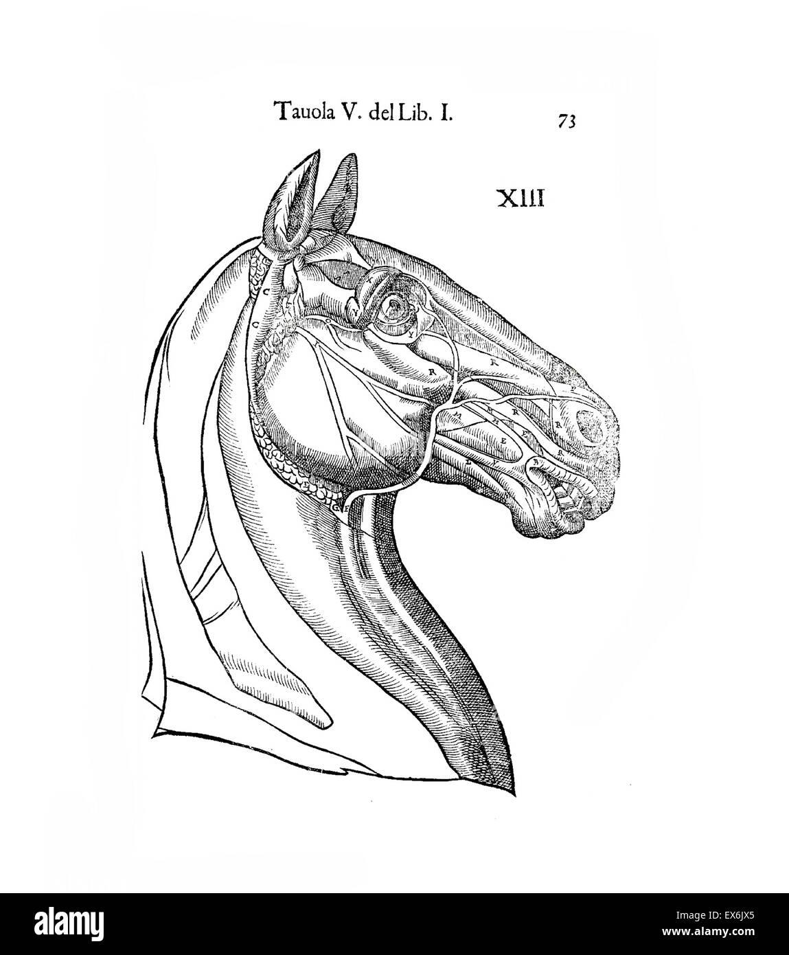 Equine Anatomy Stock Photos Equine Anatomy Stock Images Alamy